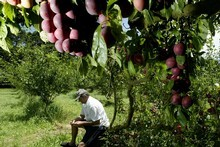 Fruit trees provide an annual harvest and, cleverly planted, other benefits such as shade and privacy. Photo / Dean Purcell