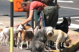 A dog walker - paseaperro - heads to the park with her charges. Photo / Jill Worrall