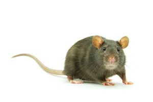 Forget cheese, the ravenous mice are devouring prize pigs. Photo / Thinkstock