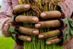 Seng Phon holds a bunch of seedlings to be planted in the rice paddies of Central Cambodia as part of Oxfam's 'Grow' campaign. Photo / Supplied