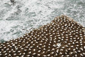 Gannets roost at their Muriwai colony. Photo / Greg Bowker
