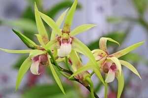 A Dendrobium hybrid orchid. Photo / Bay of Plenty Times