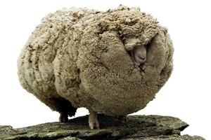 Shrek the sheep. Photo / Otago Daily Times