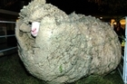The remains of Shrek the sheep may be bound for Te Papa. File photo / NZ Herald