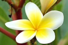 Frangipani flowers give off a gorgeous, heady aroma. Photo / Supplied 