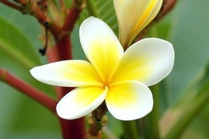 Frangipani flowers give off a gorgeous, heady aroma. Photo / Supplied