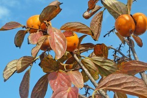 The leaves and fruit of the persimmon tree turn an almost fluorescent red-orange in autumn. Photo / Supplied