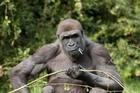 The eating habits of gorillas could provide a clue towards solving the modern obesity problem. File photo / Thinkstock
