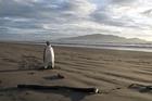 A rare Emperor penguin has appeared on Pekapeka Beach. Photo / supplied