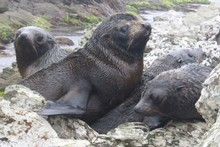 NZ fur seal pups. Photo / NZ Herald
