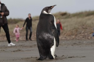 The emperor penguin 'Happy Feet' is now in a zoo hospital. Photo / Mark Mitchell