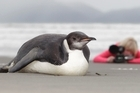An emperor penguin has been the centre of attention for locals on Pekapeka Beach on the Kapiti Coast. Photo / Mark Mitchell