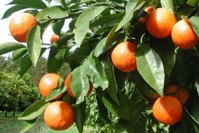 There are myriad varieties of mandarins so it's easy to pick one