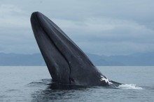 Whales are at high risk of extinctio