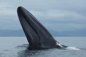 Whales are at high risk of extinction. Photo / Ingrid Visser-Orca Research Trust