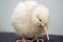 The all-white kiwi, named 'Manukura' is suspected to be the first white chick born in captivity. The chick is the thirteenth of fourteen baby kiwis hatched at the Pukaha Mt Bruce National Wildlife Centre, Wellington. Photo / Getty Images