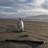 A rare emperor penguin on Pekapeka Beach, Kapiti Coast. Photo / NZPA