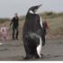 A rare emperor penguin is viewed by onlookers on Pekapeka Beach, Kapiti Coast. Photo / Mark Mitchell