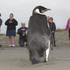 An emperor penguin is the centre of attention for locals on Pekapeka Beach, Kapiti Coast. Photo / Mark Mitchell