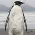 A rare emperor penguin on Pekapeka Beach, Kapiti Coast. Photo / Mark Mitchell