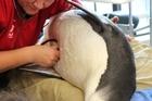 Wellington Zoo staff check the condition of the Emperor penguin. Photo / Wellington Zoo