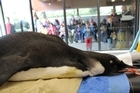 A procedure will be carried out today to assess the amount of sand still in the penguin's stomach. Photo / Supplied