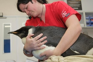 Wellington Zoo vet Dr Lisa Argilla tends Happy Feet, which is making a good recovery after surgery. Photo / Mark Mitchell