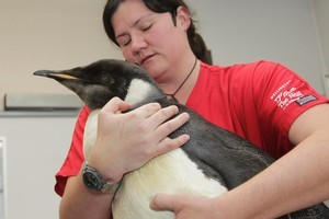 Happy Feet the emperor penguin will undergo another stomach flushing procedure at Wellington Zoo. Photo / Mark Mitchell