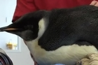 Emperor penguin, Happy Feet's health is improving and when he is fit enough, will be released into the Southern Ocean.