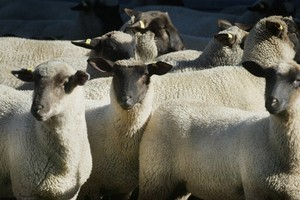 A collection of lambs at Glenfalloch Station. Photo / Hawkes Bay Today