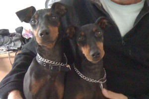 A pair of Manchester terriers who were sitting inside a car stolen from a Remuera street have been found. Photo / supplied