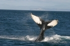 A rescue mission to save a humpback whale entangled in ropes in the Queen Charlotte Sounds has been called off. File photo / NZ Herald