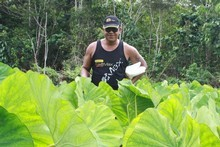 Tony Aholima grows about 106 kinds of taro on his plantation and a variety of banana trees. Photo / Jim Eagles