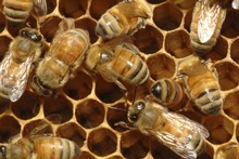 After visiting Waipuna Lodge a final time Wendyl Nissen received vital information for and against bee-keeping. Photo / Thinkstock