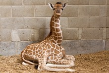 A two-month-old female giraffe passed away at Orana Wildlife in Christchurch on Saturday. File photo / NZPA