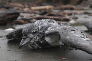 A broad-billed prion lies amongst drift-wood after being beaten by waves on Waikanae Beach, Kapiti Coast. Photo / Mark Mitchell