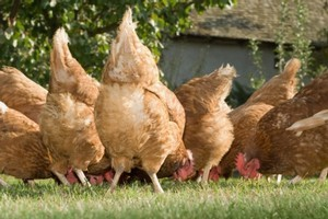 German farm animals had eaten contaminated feed for months. Photo / Thinkstock