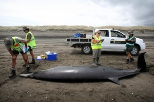Department of Conservation officials take blood samples from each of the dead whales. Photo / Natalie Slade.
