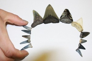 Part of Sasha Galvides' collection of fossilised shark teeth. Photo / Jim Eagles