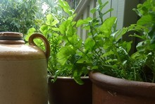 Rocket and other leafy greens do well in pots placed in a sunny spot. Photo / Meg Liptrot 
