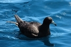 Up to 1500 black petrels could have been killed in the Hauraki Gulf every year between 2003 and 2009.