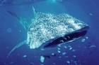 A whale shark has lunch at the Ningaloo Reef. Photo / Supplied