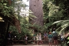 Tourists cluster around the base of the giant kauri tree Tane Mahuta. Local iwi are irate that human ashes have also been placed there. Photo / Supplied