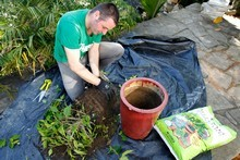 Justin Newcombe first removes the plant from its pot to break up soil from around plant roots before returning it to the pot with new soil added in order to bring life back to the plant. Photo / Steven McNicholl 