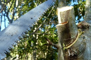 Pruning trees is easy - make a shallow undercut; cut the heavy weight off the branch; and cut the remaining branch stub from just outside the branch base or 'collar'. Photo / Meg Liptrot