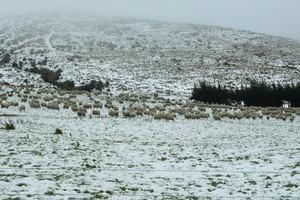 Sheep farm in Otago. Photo / Otago Daily Times