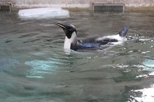 Happy Feet taking his first swim in a salt water pool at Wellington Zoo. Photo / Supplied 