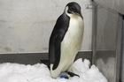 Happy Feet, the emperor penguin found on Peka Peka Beach north of Wellington. Photo / Mark Mitchell