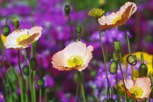Iceland poppies and primula spread spring's message in gardens that need a bit of colour. Photo / Hawkes Bay Today