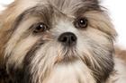 A Shih Tzu pup. Photo / file